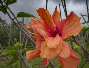 Big Island Hibiscus