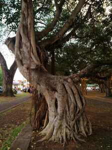One of the banyan trees in downtown Lahaina
