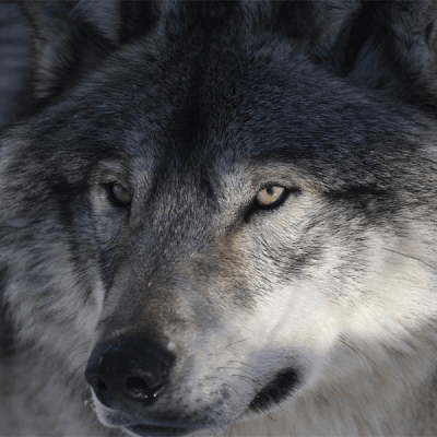 Grey Wolf-Medium Puzzle by Zen