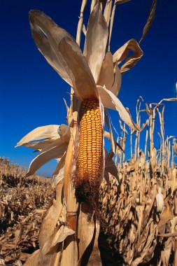 Ear of Corn Ripening in Field