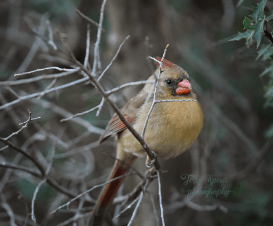closeup-female-cardinal-900-354