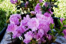 purple azaleas 900 Elsie Lee Shamalarian hyrbid