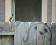 robin bird on fence, rust breast, black wings 900 046