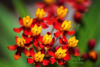macro milkweed flowers 900 063