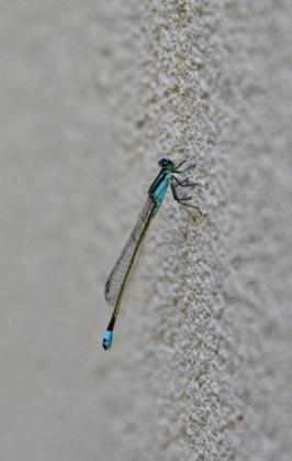 blue dasher dragonfly (406x640)