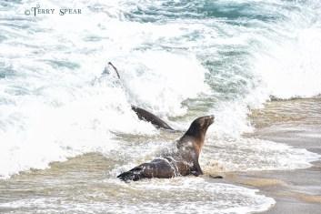 Seals La Jolla Sanctuary 900 San Diego 3928