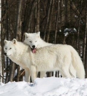 Arctic Wolves, male resting head on female