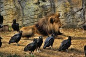 Lion, King of the Vultures spicify (640x427)