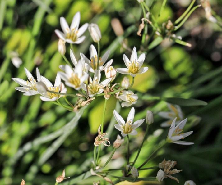 autumn freesia flowers (800x668)