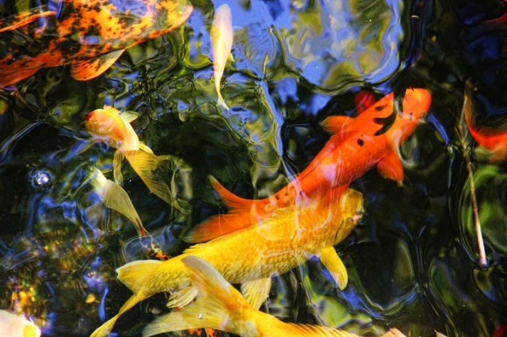 koi colorful (800x533)