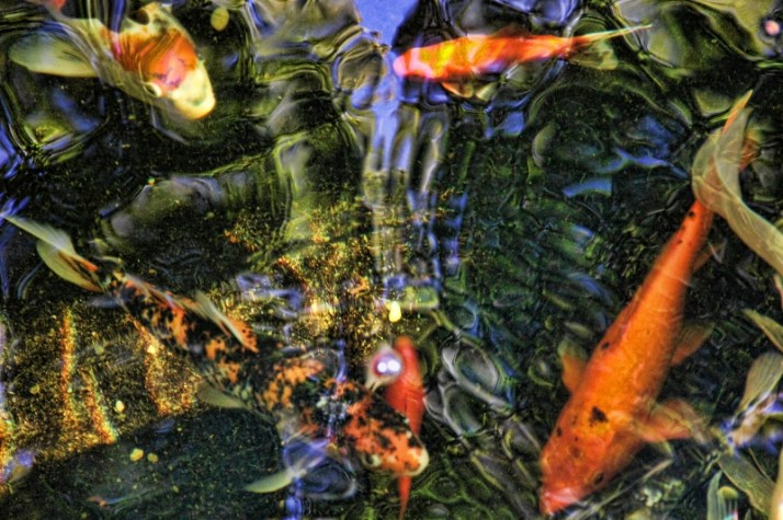 koi looking at camera (800x533)