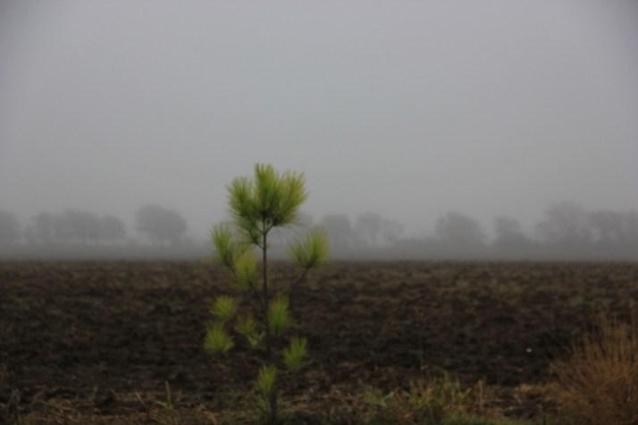 pine tree and fog (800x533)