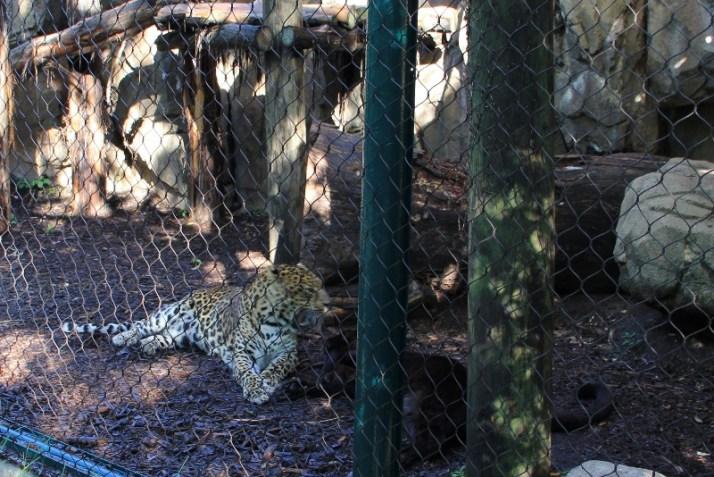 leopards fighting (800x535)