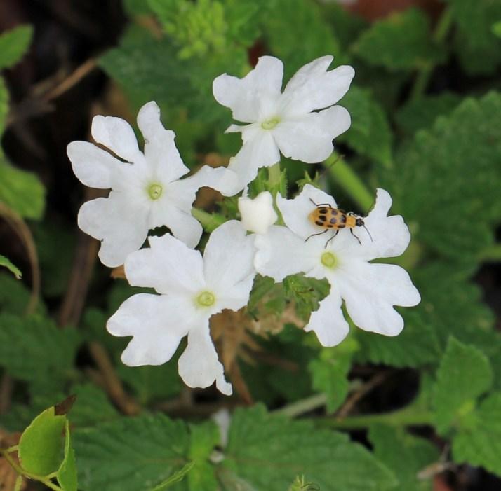 Arboretum white flowers bug (800x786)