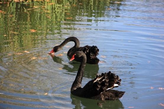 Black swans (800x533)