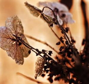 lacy leaf high