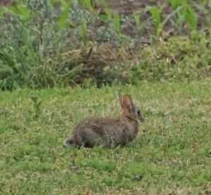 Cottontail bunny (2)