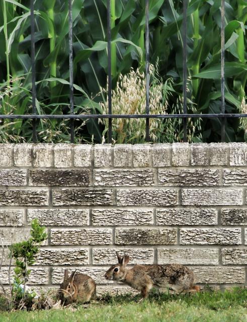 2 bunnies cornfield (491x640)