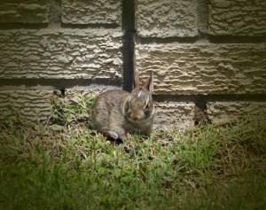 baby bunny (640x506)
