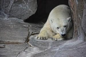 polar bear clarity (800x533)
