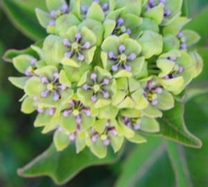 wildflowers star (640x578)