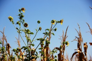 Last of the Sunflowers (640x427)