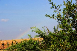rainbow over the cornfields (640x427)