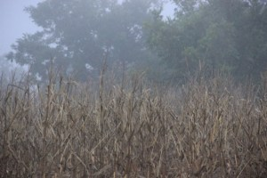 Fog over the cornfields