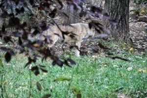 Wolf behind purple leaves