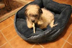 Max and his chewstick 001 (640x427) (2)
