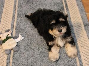 Tanner--8 1/2 weeks old