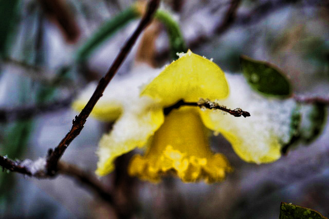 daffodil and snow1  (640x427)