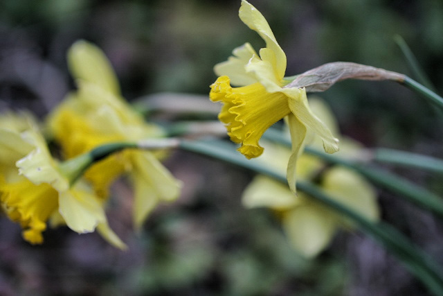 daffodils in sync (640x427) copy