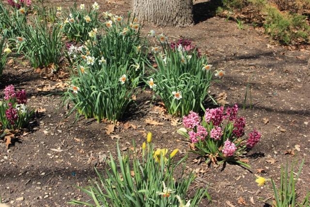 daffodils and hyacinth (640x427)