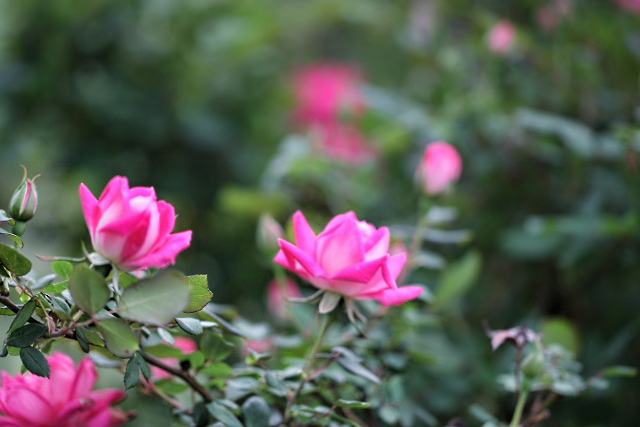 Knockout Hot Pink Rose
