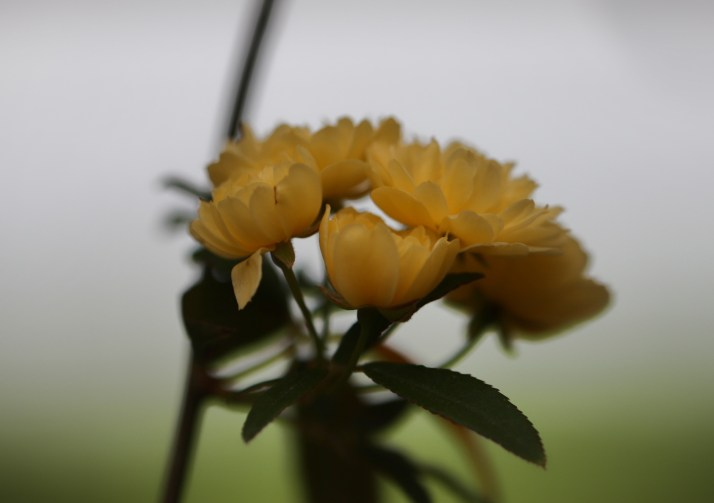 mini roses cluster