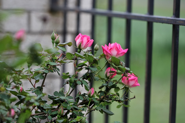 roses at the castle gate (640x427) copy