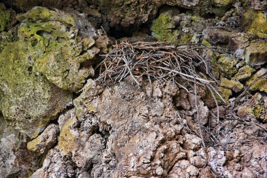 Large bird's nest settled on lava rock and above ice cave