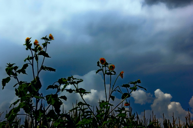 closer up sunflowers storms blue