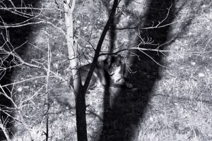 black wolf in shadows (800x534) bw blue portrait