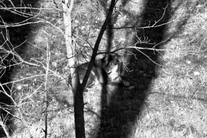 black wolf in shadows