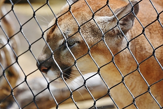 Cougars ears back, supposed to mean aggression, annoyance