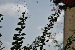 crepe myrtle decorating the spider's web (640x427)