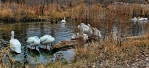 Pelicans, Swans and Ducks, Omaha