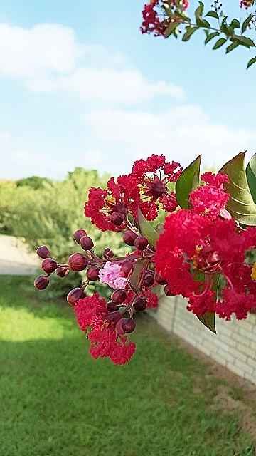 red crepe myrtle with a pink flower (360x640)