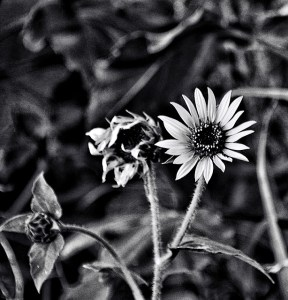 sunflowers new , old, not yet born bw