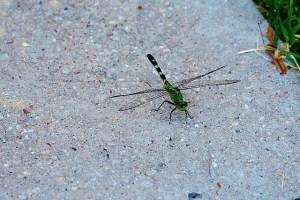 Green, Green Dragonfly