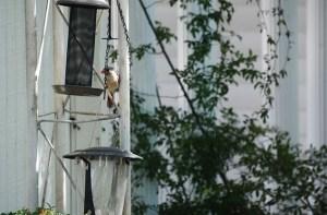 female at feeder (640x427)