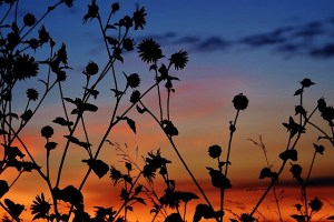 sunflowers at sunrise (640x427)