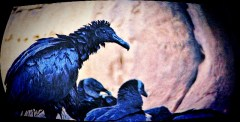 Vulture with a Mohawk